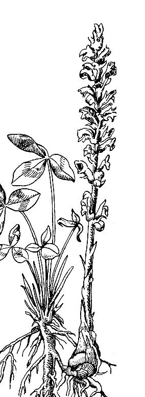 Заразихоустойчивые семена подсолнечника